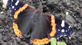 Butterfly Admiral Wallpaper Full HD#1