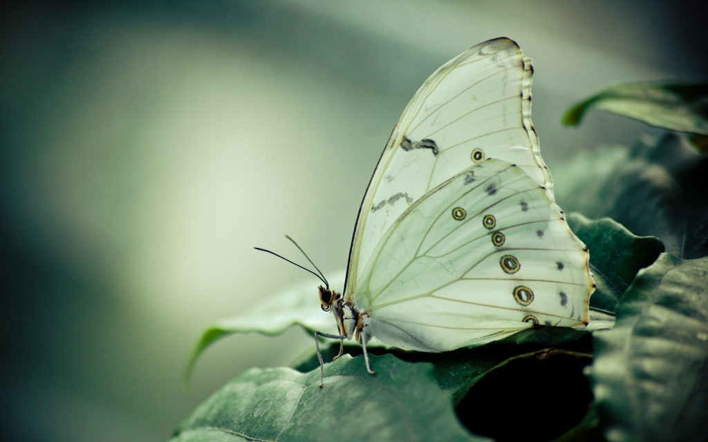 Cabbage Butterfly wallpapers HD