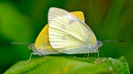 Cabbage Butterfly Desktop Wallpaper For PC