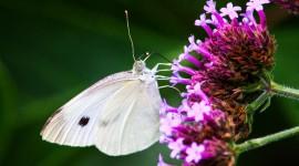 Cabbage Butterfly Desktop Wallpaper HD
