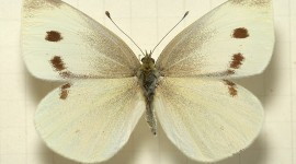 Cabbage Butterfly Image Download
