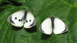 Cabbage Butterfly Photo Download