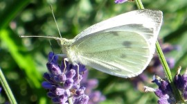 Cabbage Butterfly Photo Download#1