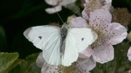 Cabbage Butterfly Photo Free