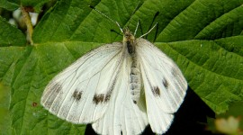 Cabbage Butterfly Photo Free#1