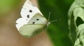 Cabbage Butterfly Wallpaper