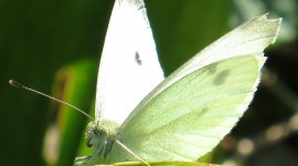 Cabbage Butterfly Wallpaper Downloa