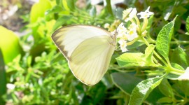 Cabbage Butterfly Wallpaper For Desktop