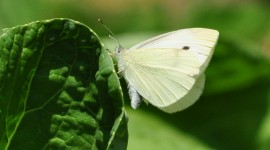Cabbage Butterfly Wallpaper For PC