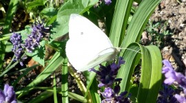 Cabbage Butterfly Wallpaper Free