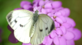 Cabbage Butterfly Wallpaper Full HD#1