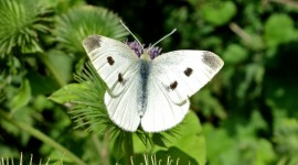 Cabbage Butterfly Wallpaper Gallery