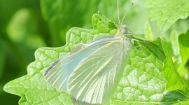 Cabbage Butterfly Wallpaper HQ