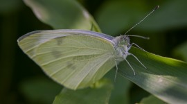 Cabbage Butterfly Wallpaper HQ#1