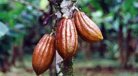 Cocoa Beans Wallpaper
