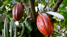 Cocoa Beans Wallpaper For Desktop