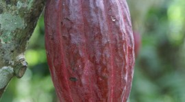 Cocoa Beans Wallpaper For IPhone Download