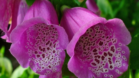 Digitalis wallpapers high quality