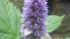 Hyssop Wallpaper For IPhone Free