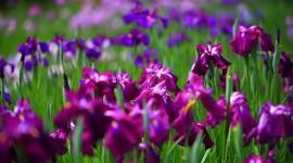 Iris Photo Free