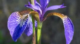 Iris Wallpaper For Mobile