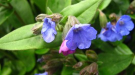 Lungwort Photo