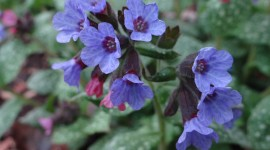 Lungwort Photo Download