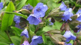 Lungwort Photo Free