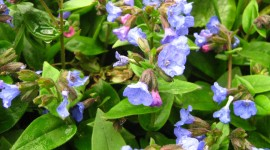 Lungwort Photo#1