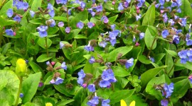 Lungwort Wallpaper For Android