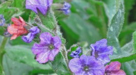 Lungwort Wallpaper For IPhone