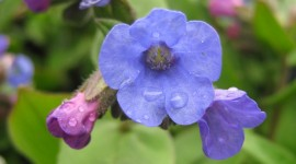 Lungwort Wallpaper For IPhone Download