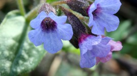Lungwort Wallpaper For IPhone Free