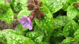 Lungwort Wallpaper Full HD#1