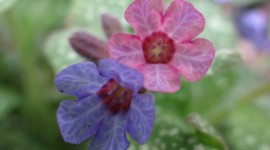 Lungwort Wallpaper Gallery