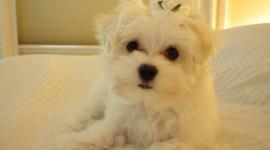 Maltese Dog Desktop Wallpaper