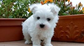Maltese Dog Desktop Wallpaper HD