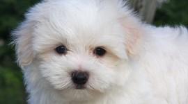 Maltese Dog Photo Download