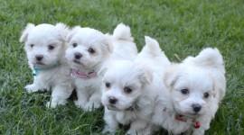 Maltese Dog Photo Download#1