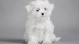 Maltese Dog Photo Free