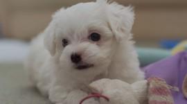 Maltese Dog Photo Free#1