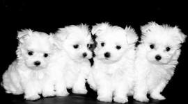 Maltese Dog Photo#1