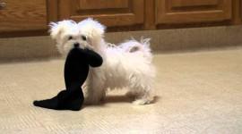 Maltese Dog Wallpaper 1080p