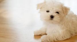 Maltese Dog Wallpaper Download