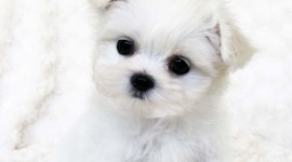 Maltese Dog Wallpaper For Android
