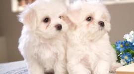 Maltese Dog Wallpaper For Desktop