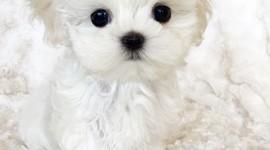 Maltese Dog Wallpaper For IPhone