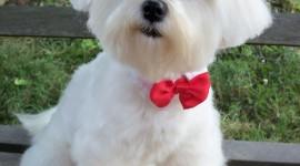 Maltese Dog Wallpaper For Mobile