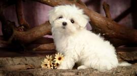Maltese Dog Wallpaper#1