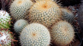 Mammillaria Photo Download